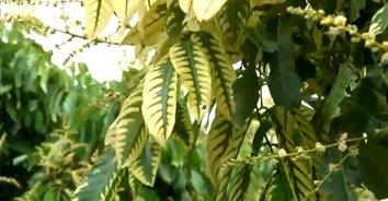 ลำไยใบด่าง ก็มา! พบต้นลำไยใบด่าง ใบออกเป็นสีทอง สลับสีเขียว