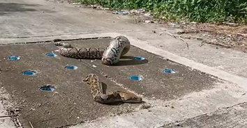 ไม่ได้เล่นกล พี่คนช่วยด้วย! งูติดรูท่อระบายน้ำ ลืมตัวกินอิ่มอาหารยังไม่ย่อย