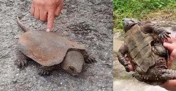 ไอ้ต้าวเต่า! พบเต่าปูลูใกล้สูญพันธ์ บนดอยสุเทพ