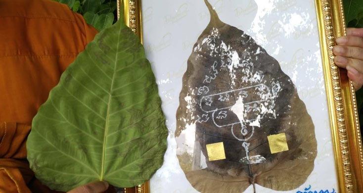 อัศจรรย์ใจ ใบโพธิ์ยักษ์ หายากนัก ในเมืองไทย