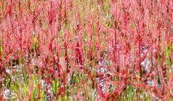 เทศกาลชมดอกดุสิตาบานบนลานหิน อุทยานแห่งชาติภูผาเทิบ