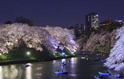 """ข้อปฏิบัติในการชม """"ซากุระบาน"""" ในญี่ปุ่น แบบถูกวิธีและมีความสุขทุกคน"""