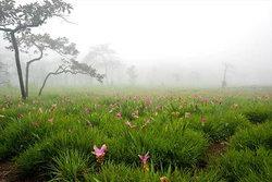 """พร้อมรึยังกับ """"เทศกาลท่องเที่ยวดอกกระเจียวบาน"""" จ. ชัยภูมิ"""