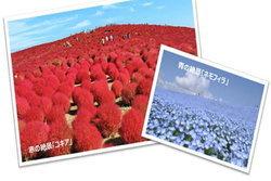 """มหัศจรรย์ทุ่งหญ้าเปลี่ยนสี.. """"โคเชีย"""" หนึ่งเดียวในอิบาระกิ"""