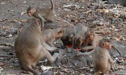 ฝูงลิงวัดถ้ำเทพบันดาล อดอยากไม่มีนักท่องเที่ยวมาให้อาหาร เนื่องจาก COVID-19