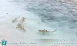 เมื่อมนุษย์หยุดการท่องเที่ยว ไม่น่าเชื่อว่าปลาฝูงนี้จะโผล่มาให้เห็น!
