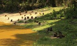 ฝูงลิงเสนและค่างแว่นถิ่นใต้รวมเกือบ 100 ตัวออกมาหากินคึกคักที่แค้มป์บ้านกร่าง เพชรบุรี