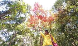 อันซีนไทยแลนด์ใบเมเปิ้ลแดงภูหลวง ผลิใบสวยงามต้อนรับลมหนาว