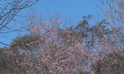 ดอกพญาเสือโคร่ง ซากุระเมืองไทยบานสะพรั่งที่ภูทับเบิก