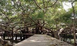 ชมความงดงามต้นไทรยักษ์บนพื้นที่กว่า 2 ไร่ @โคราช