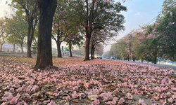 ถนนสีชมพู! ดอกชมพูพันธุ์ทิพย์มหาวิทยาลัยเกษตรศาสตร์ วิทยาเขตกำแพงแสน บานแล้วในปีนี้