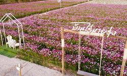 ทุ่งดอกคอสมอสบานบ้านไร่นายรุ่ง จุดเช็กอินแห่งใหม่ของกาญจนบุรี