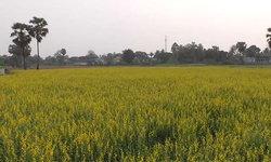 ชาวนาอ่างทองปลูกทุ่งปอเทืองเหลืองอร่ามเต็มพื้นที่ กลายเป็นแหล่งท่องเที่ยวแห่งใหม่น่าไปเช็กอิน
