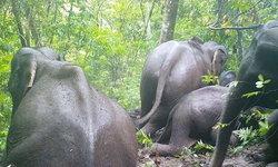 สุดชื่นมื่น ชมภาพสองครอบครัวช้างป่าและลิงน้อย ออกหากินบนภูกระดึง