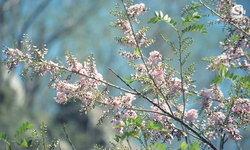 ชมซากุระเขางูเริ่มเบ่งบานความสวยงามต้อนรับนักท่องเที่ยว 1 ปีมีครั้งเดียว