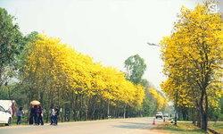 """มหัศจรรย์ถนนสีเหลือง ดอกเหลืองอินเดียบาน บนถนนสาย """"เชียงคำ-สองแคว"""""""