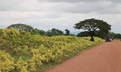มหัศจรรย์! ต้นกระเจี๊ยบผี บานสะพรั่งเหลืองอร่ามริมถนนยาวกว่า 11 กิโลเมตร