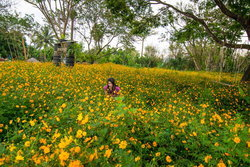เที่ยวทุ่งดอกดาวกระจายวังยาว ถ่ายรูปเก๋ๆ ท่ามกลางทุ่งดอกไม้สีทอง