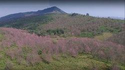 ภูนี้สีชมพู! ชมบรรยากาศสุดโรแมนติกของดอกนางพญาเสือโคร่งบนภูลมโล