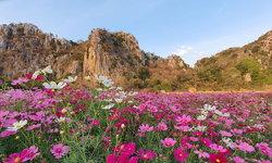 ทุ่งสิริสมัย อลังการทุ่งดอกคอสมอสท่ามกลางวิวภูเขาสวยงาม