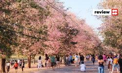 ดอกชมพูพันธุ์ทิพย์เกษตรกำแพงแสน ซากุระเมืองไทยที่อยู่ใกล้แค่นครปฐม