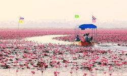 ทะเลบัวแดง อุดรธานี บานสะพรั่งเปลี่ยนบึงหนองหานให้กลายเป็นสีชมพู