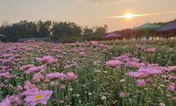 ทุ่งดอกเบญมาศวังน้ำเขียวออกดอกบานสะพรั่ง สีสันแห่งเมืองโคราช