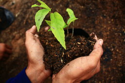 เพาะเมล็ดพันธุ์วันพ่อ ปลูกต่อวันแม่ ดูแลวันสมเด็จย่า ในพื้นที่ป่าแก่งกระจาน