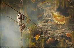 """นักล่าเสี่ยงชีวิต""""เก็บน้ำผึ้ง""""บนตีนเขาหิมาลัย รังใหญ่ที่สุดของโลก"""
