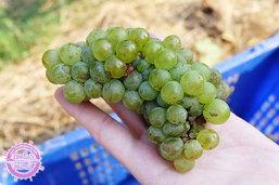 """ชวนเก็บองุ่นดื่มไวน์กลางสายลมเย็นในงาน """"Tropical Harvest"""" @GranMonte เขาใหญ่"""