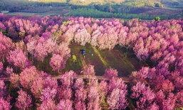"""5 จุดชม """"ดอกนางพญาเสือโคร่ง"""" ป่าสีชมพูสุดฟินทั่วเมืองไทย"""