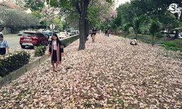 ดอกชมพูพันธ์ทิพย์กระทรวงสาธารณสุข ที่ถ่ายรูปแห่งใหม่ใกล้กรุงเทพฯ