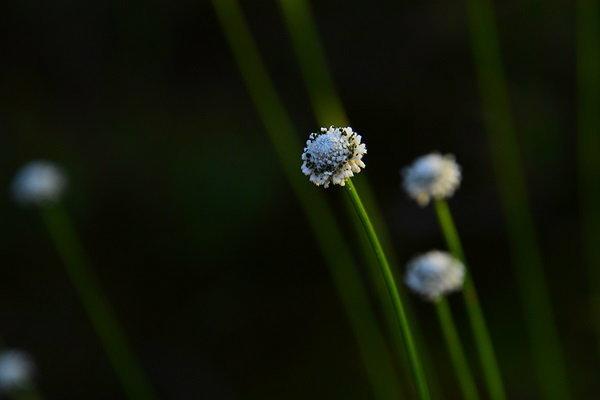 ดอกกระดุมเงินป่า