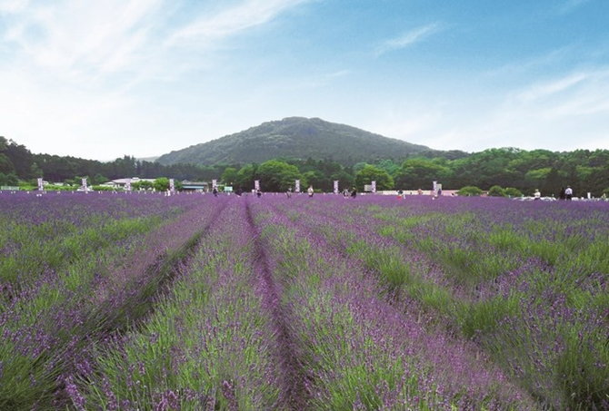 lavender-4