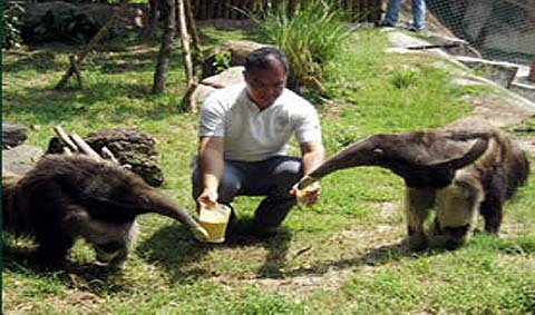 สวนสัตว์เปิดเขาเขียวฉลองเจ้าไทโก้ ลูกตัวกินมดยักษ์ครบรอบ 1 ปี