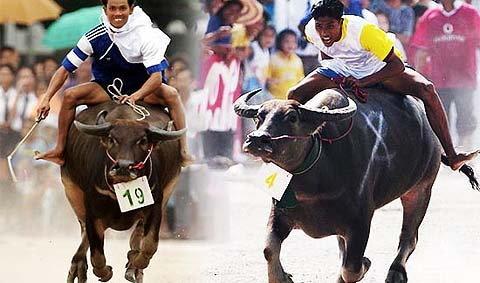 งานประเพณีวิ่งควาย ชลบุรี