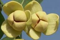 เทศกาลดอกลำดวนบาน สืบสานประเพณีสี่เผ่าไทย