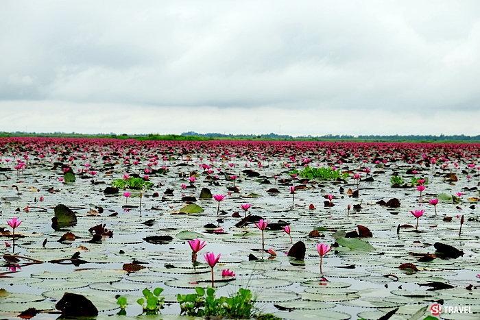 ทะเลบัวแดง อุดรธานี ออกดอกบานสะพรั่งในบึงหนองหาน บานหลงฤดูในช่วงหน้าฝน