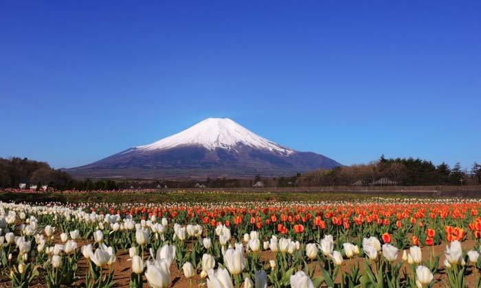 ให้ไว!! รีบไปชมทุ่งทิวลิปกว่า 170,000 ดอก พร้อมฉากหลังฟูจิซัง