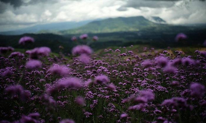 ทุ่งดอกเวอร์บีน่าเขาค้อเพชรบูรณ์ สวนดอกไม้ในฝันหาชมได้ยากในไทย!