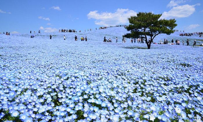 พาชม ทุ่งเนโมฟีล่า ดอกสีฟ้า ญี่ปุ่น พิกัดน่าเที่ยวใกล้โตเกียว!