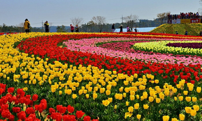 Taean Tulip Festival 2019 ชวนมาดูทิวลิปสีสันสดใส หัวใจเกาหลี