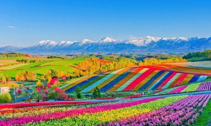 """มวลดอกไม้แห่งฤดูกาล """"ทุ่งดอกไม้เทมโบ ชิคิไซโนะโอกะ"""" ทิวทัศน์ที่แผ่กว้างไปทั้งบิเอย์ ฮอกไกโด"""