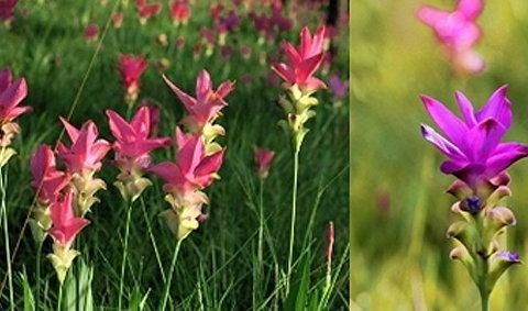 สวรรค์บนดิน...ชมทุ่งดอกกระเจียว
