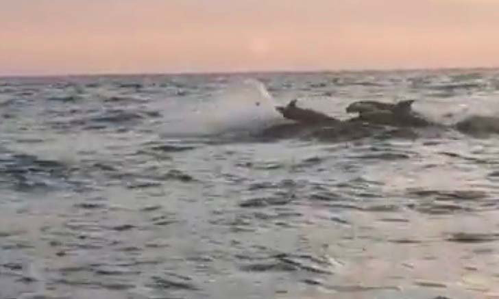 วาฬเพชฌฆาตโผล่เล่นน้ำใกล้อ่าวหินงาม อุทยานแห่งชาติหมู่เกาะลันตา สร้างความฮือฮาให้ผู้พบเห็น