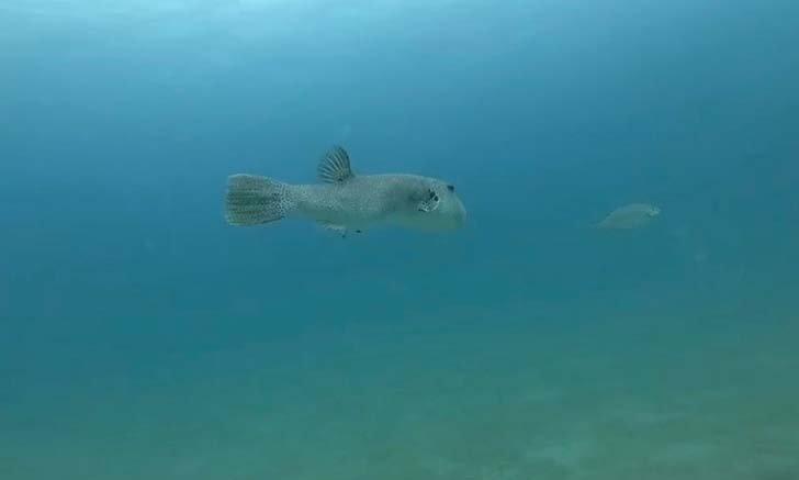ตะลึง! พบปลาปักเป้ายักษ์ยาวเกือบ 1 เมตร เป็นครั้งแรกในรอบ 13 ปี บริเวณหมู่เกาะช้าง