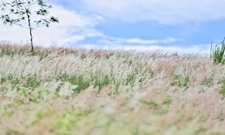 ทุ่งดอกหญ้าวังน้ำเขียว แลนด์มาร์คแห่งใหม่โคราช