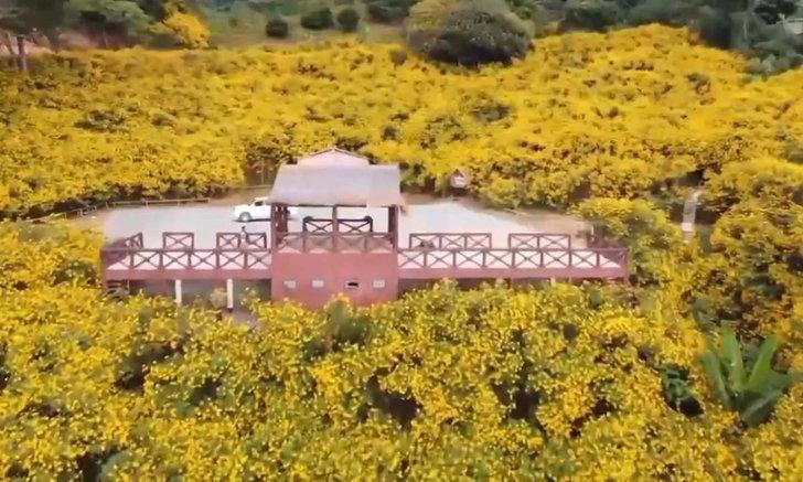 ดอกบัวตองบานทั่วดอยหัวแม่คำ เปลี่ยนภูเขาให้กลายเป็นสีเหลือง!