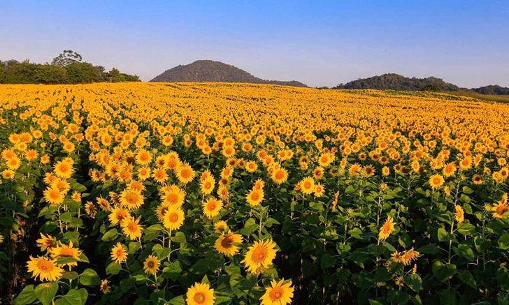 ทุ่งดอกทานตะวันไร่มณีศร แปลงดอกทานตะวันสุดอลังการบานสะพรั่งทอดยาวไปจนสุดภูเขา