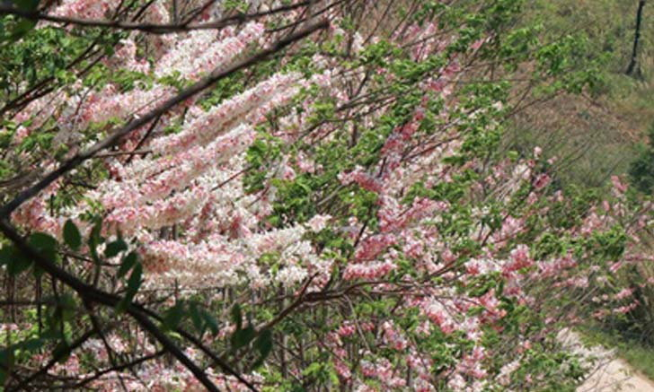 ดอกกัลปพฤกษ์ บานสวยงามรับลมร้อนทั่วเมืองพิษณุโลก